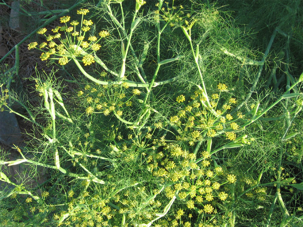 Herb of the Month - Fennel - Discover Southside - Southside, Virginia